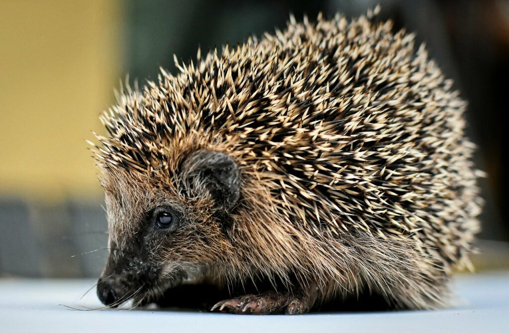hedgehog, spur, young