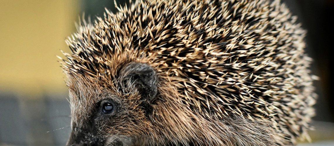 hedgehog, spur, young
